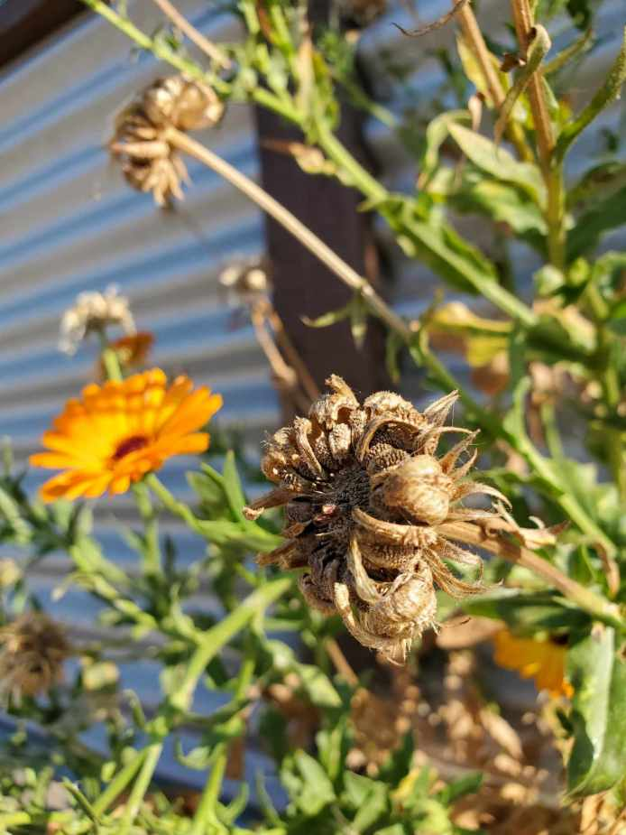 The top portion of an orange calendula plant is shown. There are a few full and bright orange flowers while a flowerhead which has turned brown and dry awaits to spill its seed. Save flower seeds of your favorite plants to keep their favorable traits in your garden for years to come.