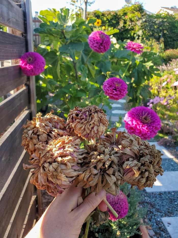DeannaCat is holding a handful of dried zinnia blooms. The petals have browned and withered, putting their energy into the flower seeds that lie within. In the background is a zinnia plant with large fluffy purple flowers from which the brown flowers came from. When you choose to save flower seeds from plants with large flower heads, there are usually many seeds that are contained within. There is also a fig tree along the fence line immediately behind the zinnia plant.
