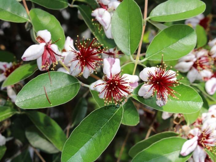 A close up image of a flowering pineapple guava. The flowers have creamy white petals amongst a center that looks like a firework explosion of red pistils with yellow pollen balls at the ends of them. The plant has green waxy leaves.