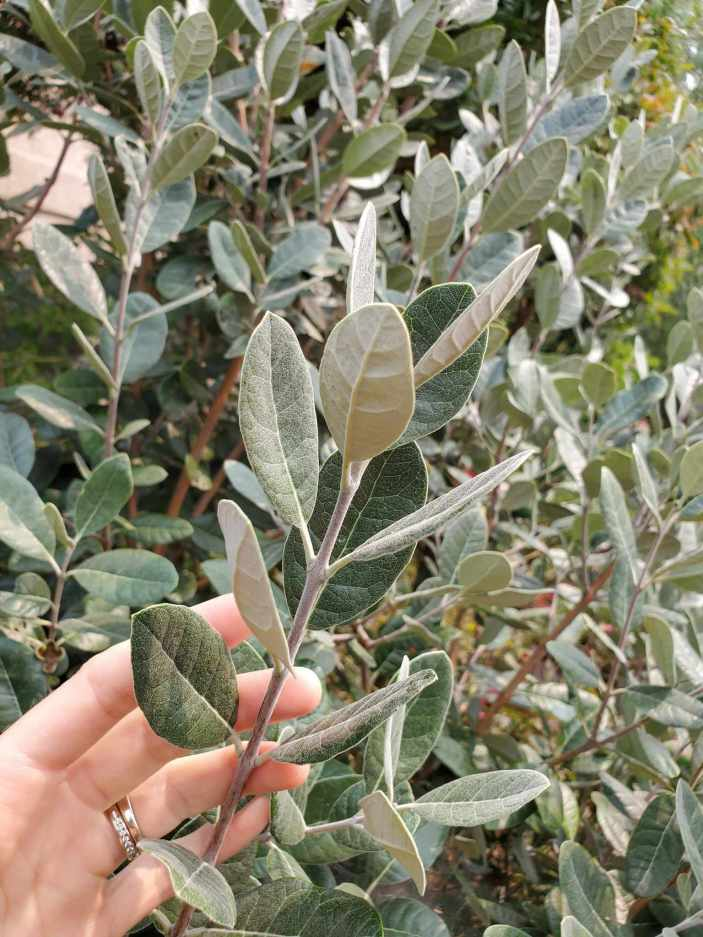DeannaCat is touching a limb of a pineapple guava, its branch is a fuzzy silver in color due to the growth being new. Its leaves are a waxy green silver color. When you grow pineapple guava, the older growth turns more woody and brown while the new growth is lighter green to silver.
