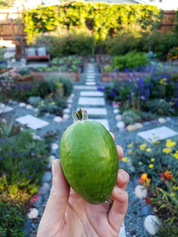 DeannaCat is holding a large pineapple guava. Its waxy green exterior is shiny, beyond lies the front yard garden with a myriad of flowering perennials with purple, yellow, pink, and blue flowers. Beyond that lies garden beds that are full of young winter seedlings.