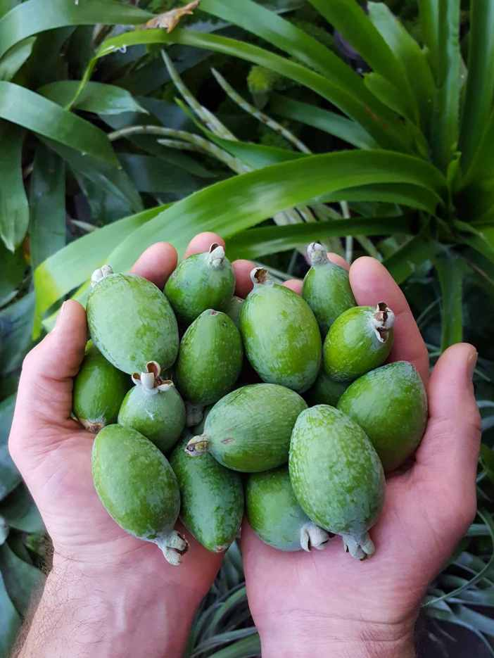 An image of Aaron's outstretched hands full of of pineapple guava fruit ranging from medium to small sized fruit. Below there are two large bromeliad plants with waxy green leaves.