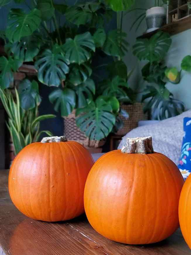 Two sugar pie pumpkins are sitting on a dark wooden table while a part of another is partially visible off to the right. There are various green houseplants in the background including two monsteras and a snake plant.