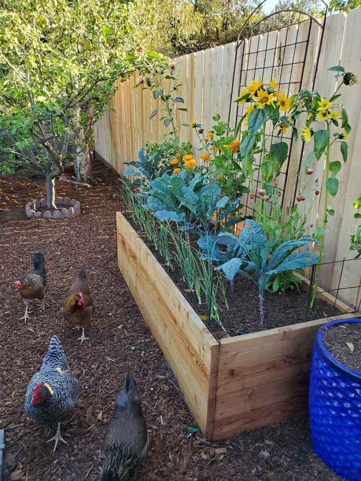 A raised garden bed is shown set against a fence. There is a row of onions planted in the front, kale planted in the middle, and annual flowers planted in the back such as zinnia, calendula, and marigold. Four chickens are walking on the outside of the raised bed.