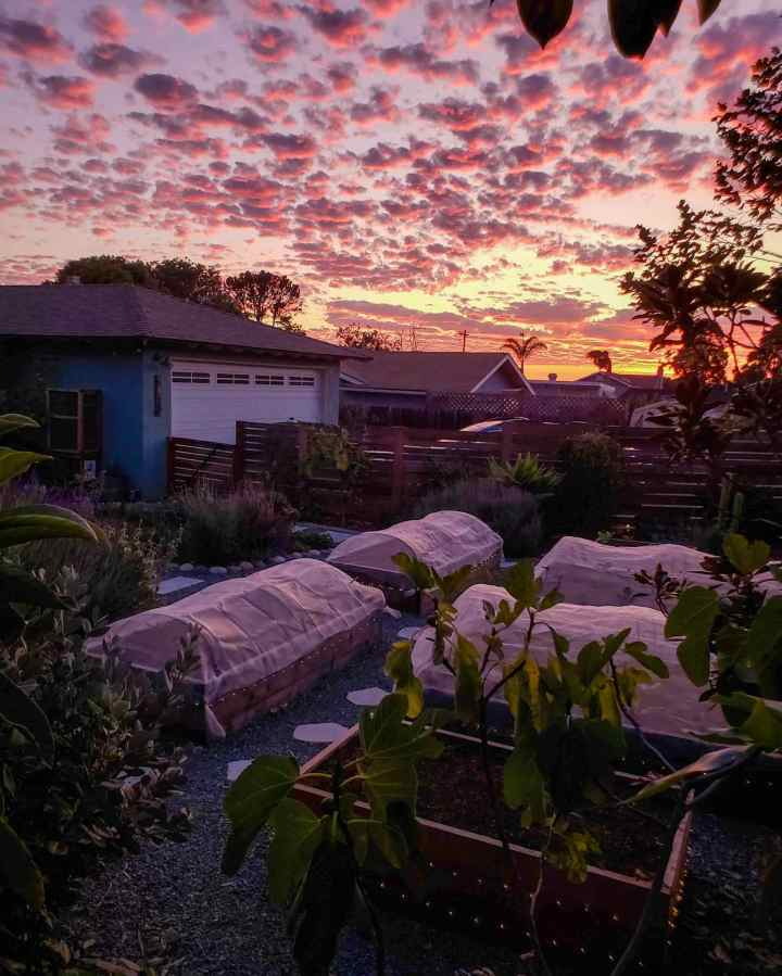 Raised garden beds are shown at dusk, covered with row covers. The sky is shown in the background, a bright glowing orange sun has illuminated the horizon with shades of pink and purple mixed in. There are various trees and plants that are visible in the dwindling light.