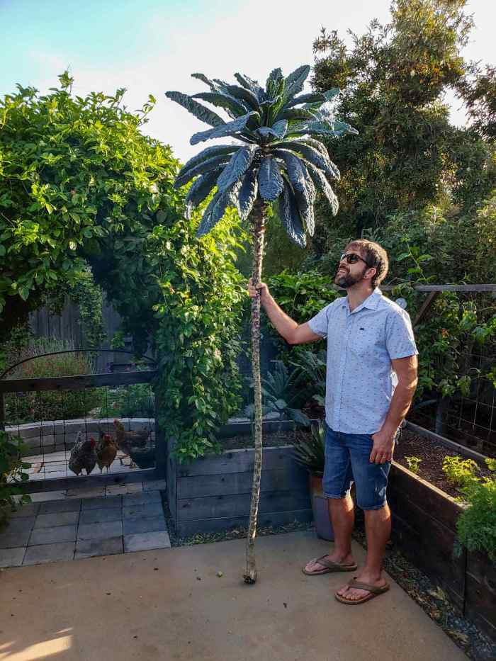 On a concrete patio surrounded by lush garden beds, Aaron is standing next to and looking up at a very tall kale plant. It has been cut from the base soil line, and with its stalk resting on the patio, stands 9 feet tall. There is a very bare tall stalk that Aaron is holding like a walking stick, with leaves just at the top - like a mini palm tree.