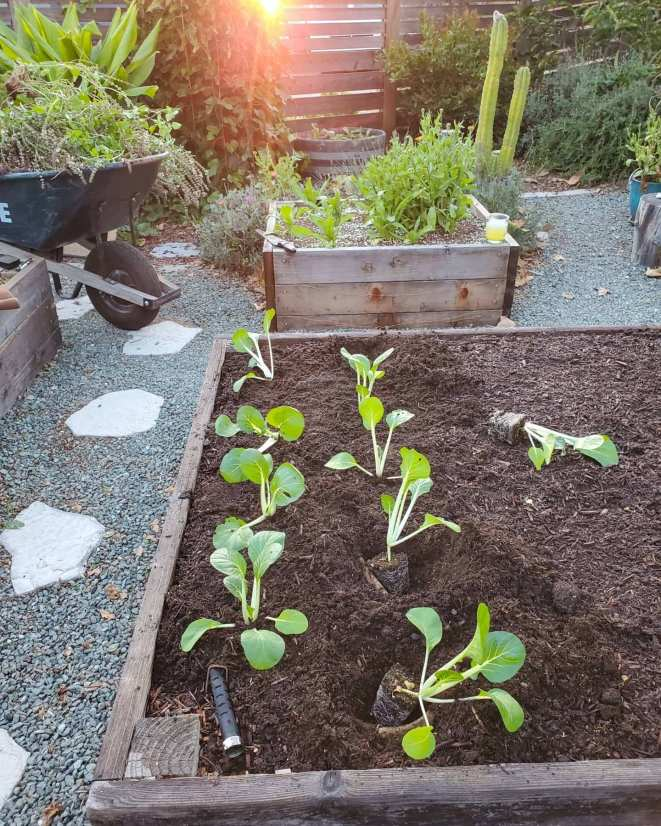 A raised garden bed is shown with bok choy seedlings in the process of being planted into the bed. There are two rows of seedlings and two of them are in their planting holes but haven't been covered in soil yet. You can see a layer of wood mulch compost on the top of the soil. There is gravel outside of the garden beds along the pathways as well as bark mulch in the perimeter of the yard, showing many types of mulch that are possible.