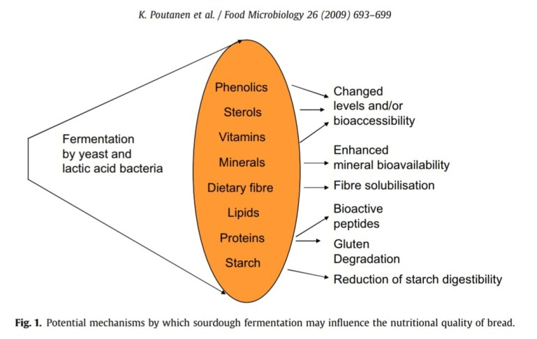 A diagram showing that fermentation by yeast and lactic acid and how it can enhance certain nutritional benefits of bread. Phenolics, vitamins, minerals, fiber, proteins and starch are all made more bioavailable to the body.