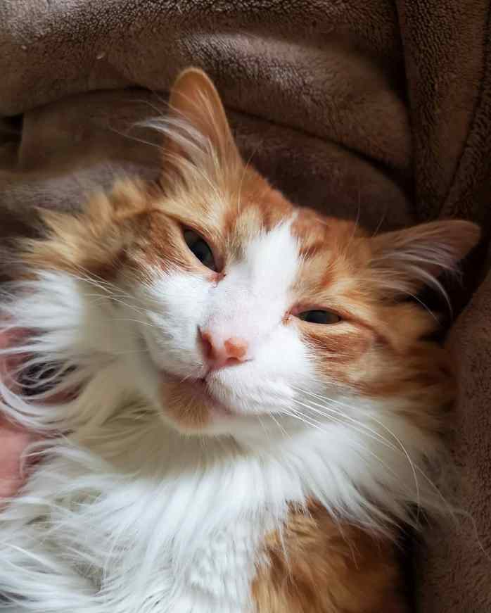 A close up image of Quincy's face, and orange and white cate. His eyes are partially shut as he is in a state of restful bliss. Petting an animal can help reduce stress for you and your pet as well.