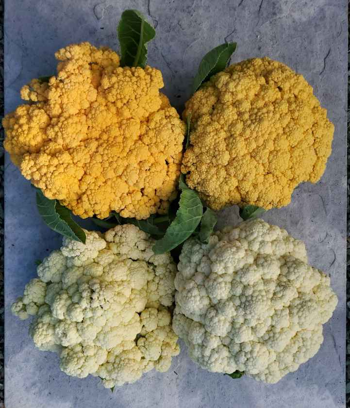 Two Cheddar variety cauliflowers are displayed above two Goodman variety cauliflower heads. The two varieties of cauliflower on the left are just past their prime time to be picked. The heads are starting to open and pull apart from the center. The other two varieties of cauliflower on the right have been harvested at the optimal time, their heads are firm and tight.