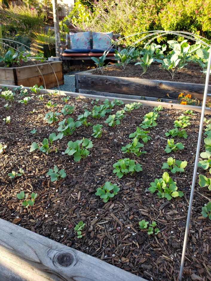 A raised garden bed with rows of newly sprouted tender seedlings emerging from the soil after the seeds were direct sown. In the background lies two more garden beds, each container more mature vegetable seedlings that were sown indoors.