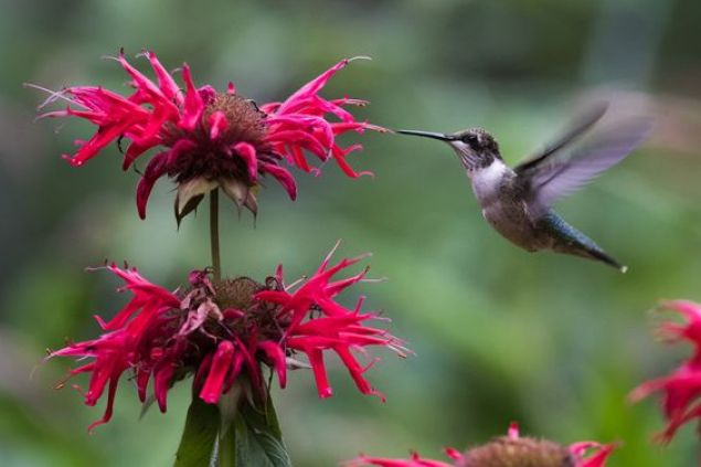 A hummingbird feeds from a bee balm with bright pink flowers. The birds wings are a blur due to their rapid movement.
