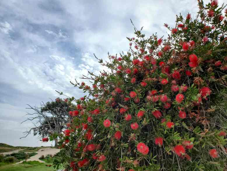 A bottlebrush tree with bright red flowers jutting out of green foliage is set agains a light blue sky with small white clouds streaked across it. Many flowers attract hummingbirds, even ones you wouldn't think.