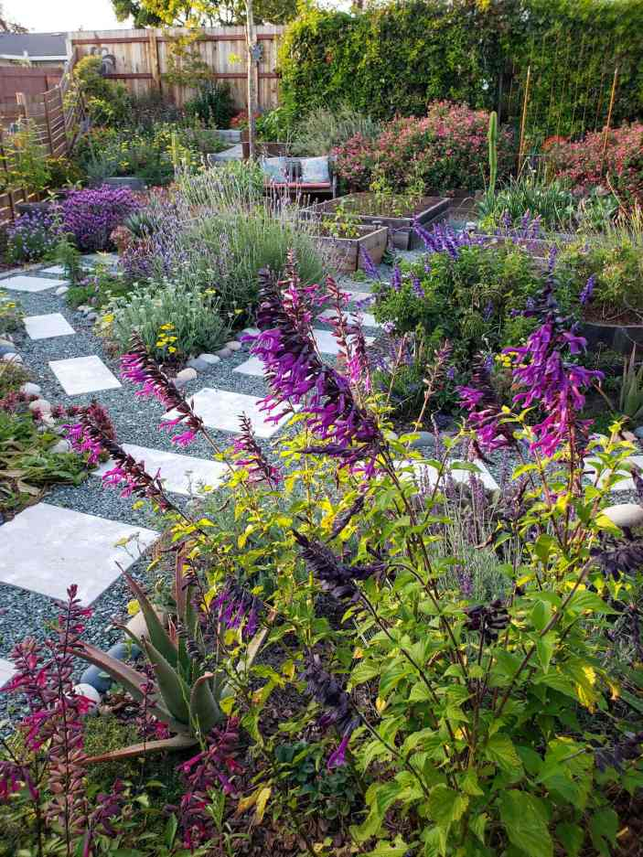 A front yard garden littered with flowering plants of every kind. If the foreground is a large black salvia and hummingbird sage with purple and pink flowers shooting upwards. in the background lie many other plants in specified planting areas surrounded by paver line gravel pathways. Lavender, salvia, sage, and yarrow to only name a few. There are garden beds in the back with a few different vegetables growing in them. Along the back lining the fence is a row of vines creating a privacy wall. Many flowers attract hummingbirds, variety is the spice of life!