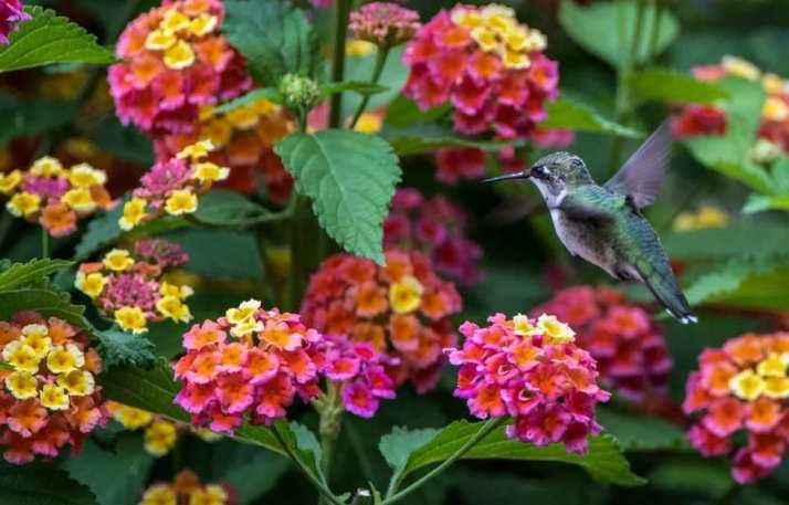 A hummingbird flutters in front of a lantana plant with pink, orange, and yellow flowers in the same cluster. The foliage is dark green and the leaves resemble that of mint. Many flowers attract hummingbirds.