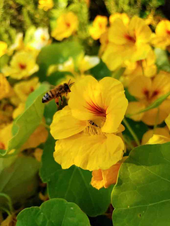 A close up image of a bee flying towards a yellow nasturtium flower. The bees hind legs contain a ball of pollen. Many nasturtium flowers are abound, all coming from the same plant or two. Many flowers attract hummingbirds.