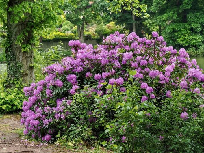 A large rhododendron shrub in full bloom with hundreds of purple flowers  sits amongst a see of green plants and trees. Many flowers attract hummingbirds, of all shapes and sizes.
