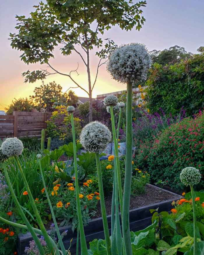 Flowering onions shooting towards the sky from a garden bed below. Each stalk has a puffy ball on the top of it which is the onions flower. In the surrounding garden area beans, marigolds, squash, onions, salvia, and sage are growing with many colors of flowers contrasting against the twilight of the evening. Grow onions amongst other vegetable crops to repel many pest insects.