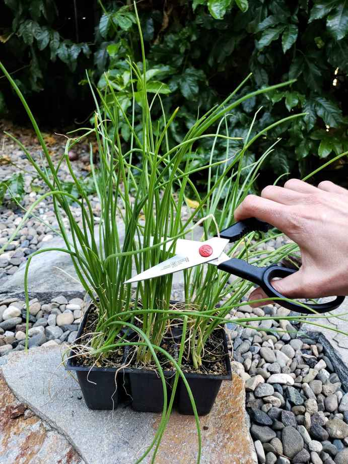 DeannaCat is using scissors to cut the top portion of onion seedling greens, leaving about 5 inches of growth below. There are many onion seedlings in the 6 cell pack which will be separated and divided into individual onion seedlings at transplant.