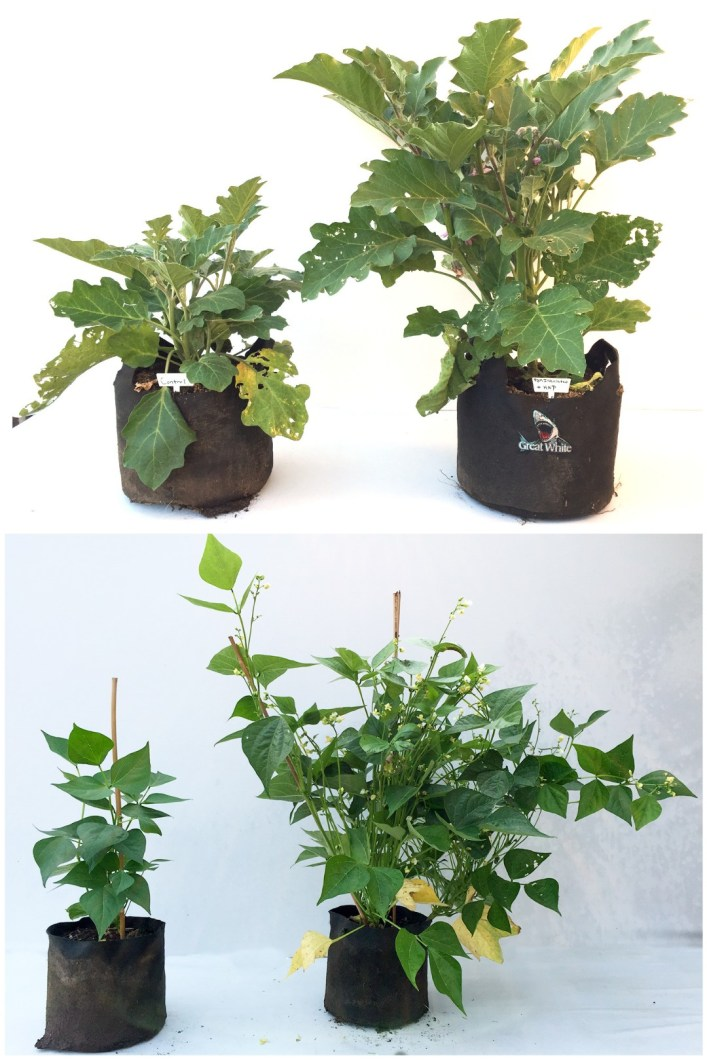 A two image collage, the first image shows two eggplant plants, both in its own fabric grow bag and the plant on the right is twice the other plants height and width with more flowers. The second image shows two bean plants, each in its own grow bag. The plant on the right is more than twice the size and width of the other plant with many more flowers as well.