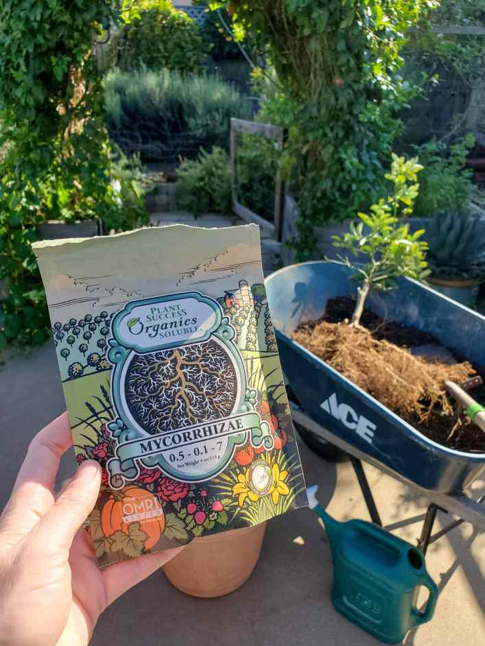 DeannaCat is holding a package of water soluble mycorrhizae from Plant Success Organics. Beyond lies a wheel barrow with an uprooted small kumquat tree inside as well as an arch beyond that with dense green passion fruit vines covering it. This leads to an area that is lush with lavender, vines, and rosemary bushes.