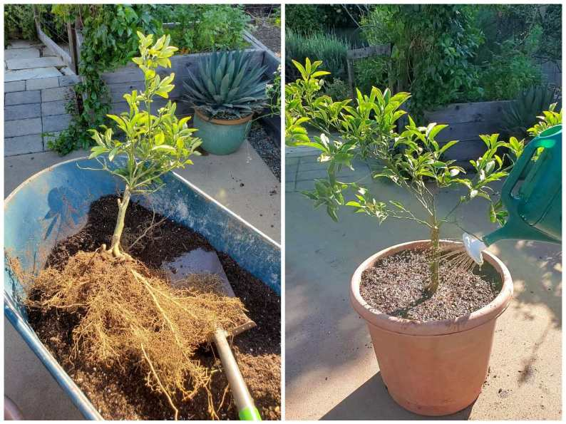 A two part image collage, the first image shows a recently uprooted small kumquat tree that is laying in a wheel barrow with soil below it. It fibrous roots are exposed with little to no dirt making up the root ball. The second image shows the kumquat after it has been transplanted into a 10 gallon plastic terra cotta color pot. A watering can is sticking into the frame from the edges of the image, watering the transplanted tree with water soluble mycorrhizae.