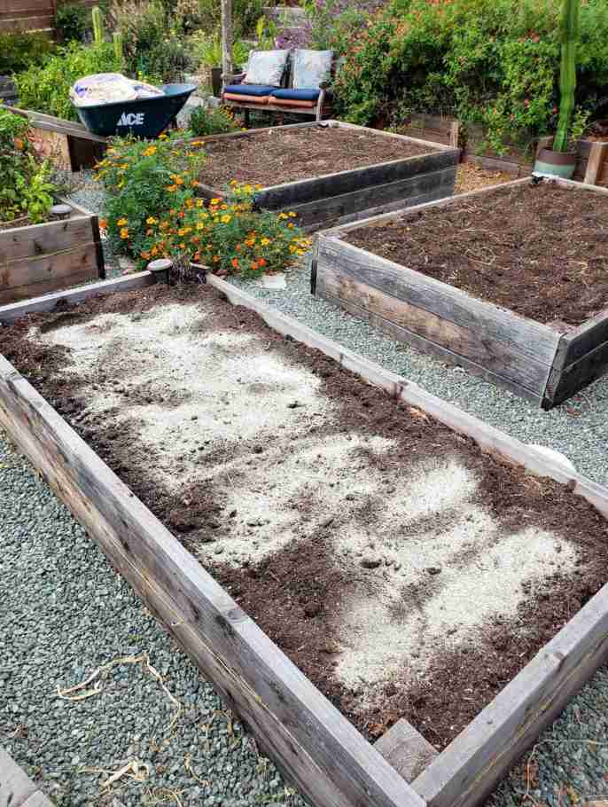 An empty raised garden bed lies in the foreground with dry amendments covering the top most portion of soil. There are two remaining beds that lie empty that have yet to be sprinkled with amendments. The amendments will be scratched into the surface of the soil before being thoroughly watered before transplanting seedlings into the raised beds.