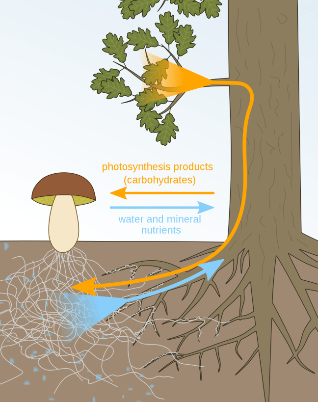 A diagram illustration showing a mushroom growing in the soil next to a tree and its roots. Below the soil line shows the roots from the fungus exchanging water and mineral nutrients to the tree for photosynthesis products in the form of carbohydrates for the fungus.