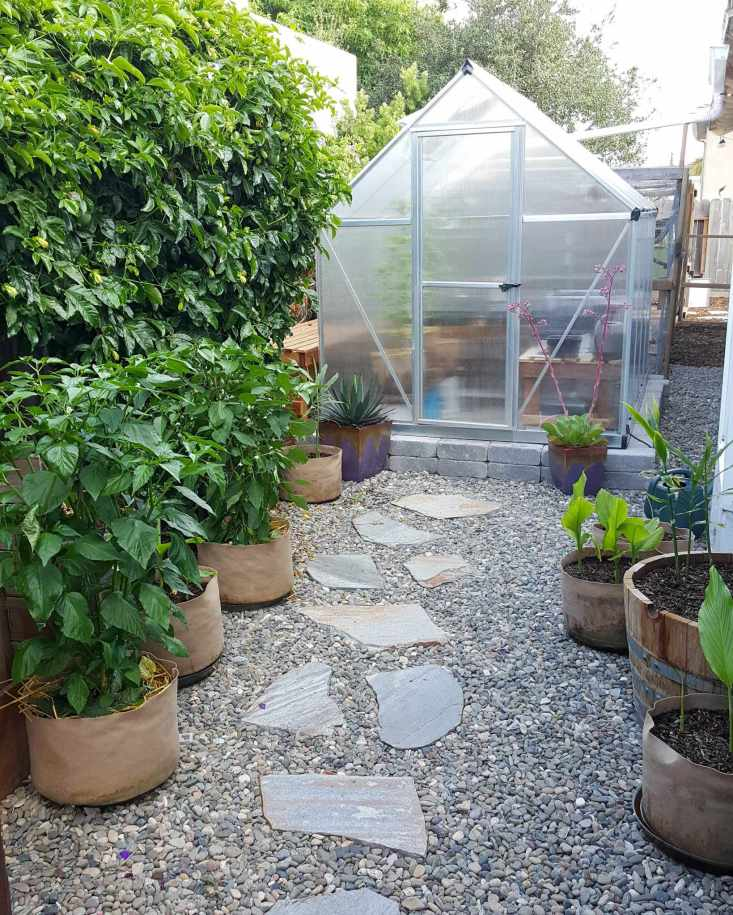 A flagstone pathway amongst small river rock hardscape leads to a greenhouse. Flanking the path on the left are three large pepper plants in 5 or 7 gallon fabric pots. They are quite large and don't have many visible fruit. Behind the chilis in a passionfruit vine on a trellis creating a green wall.