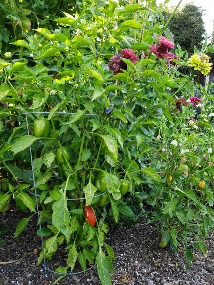 A sea of green inside a raised garden bed. A pepper plant has a small tomato cage surrounding the outside of it as it grows next to huge tomato and zinnia plants. Pink and lime green flowers are visible towards the top while another pepper plant next to it is dotted with many white flowers that will soon be peppers.
