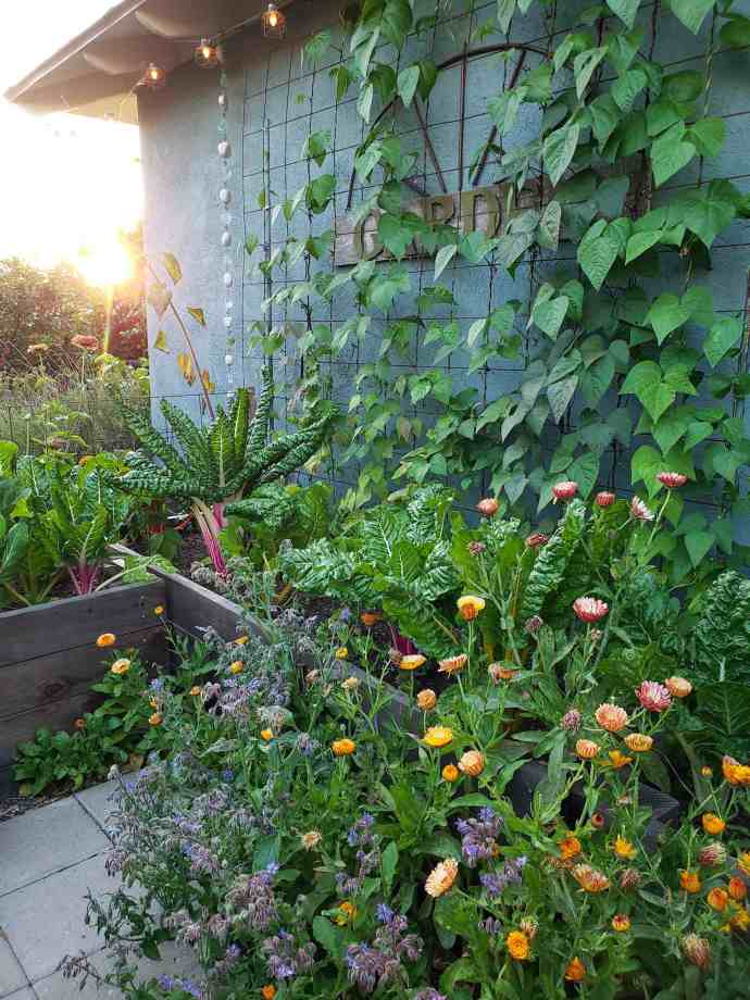Raised garden beds are set against a greenish blue house, the beds are lush with a variety of plants growing in them from chard, to calendula, to pole beans growing up a metal trellis. Zinnia and sunflower plants are growing up towards the setting sun while more calendula and borage is growing along the ground in front of the beds leading to a dazzling array of flowers that are purple, pink, orange, and yellow. Prevent powdery mildew by maximizing companion planting.