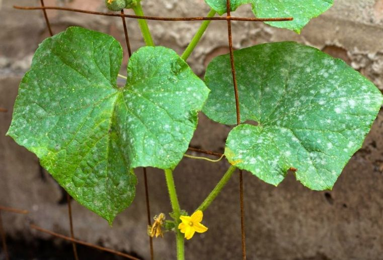 A small cucumber seedling is showing small splotches of powdery mildew on its leaves. Two small yellow flowers are emanating from the main stem below the leaves. Powdery mildew favors plants in the cucurbit family.