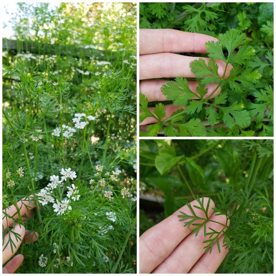 A three way image collage, the first image is a mass of flowering cilantro with thin green leaves among many white flowers. The second image shows DeannaCat's hand showcasing a cilantro leaf that is in its prime for harvesting and using. The final image is DeannaCat's hand touching cilantro leaves that are skinny and pointy, meaning it has begun to flower in an attempt to produce seed.