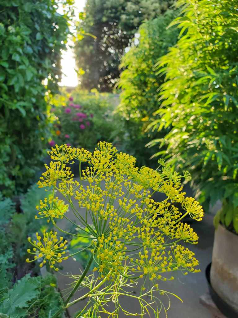 The top of a flowering dill plant is featured, its many small flowers dotted with pollen. Green kale, passionfruit vines, zinnia and cannabis plants are surrounding the dill forming a green and lush scene.