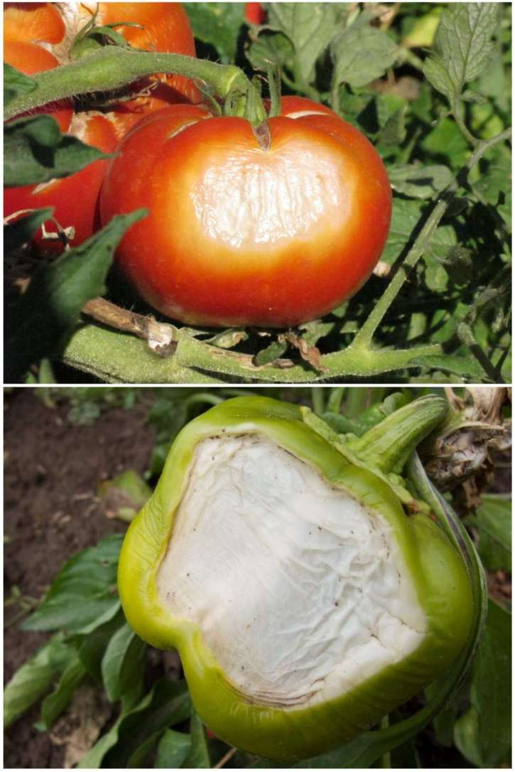 A two image photo collage, the first image is a red tomato attached to a cluster of fruit on a tomato plant has signs of sunburn and damage on half the fruit. It is blistered and wrinkled with a large, round, light in color discoloration amongst the red fruit. The second image is a green bell pepper that is still attached to the plant, half of the fruit has turned white and papery due to sunburn, leaving only small amounts of green on the outer edges of the fruit. Protect your plants from a garden heat wave so your fruit won't succumb to sunburn.
