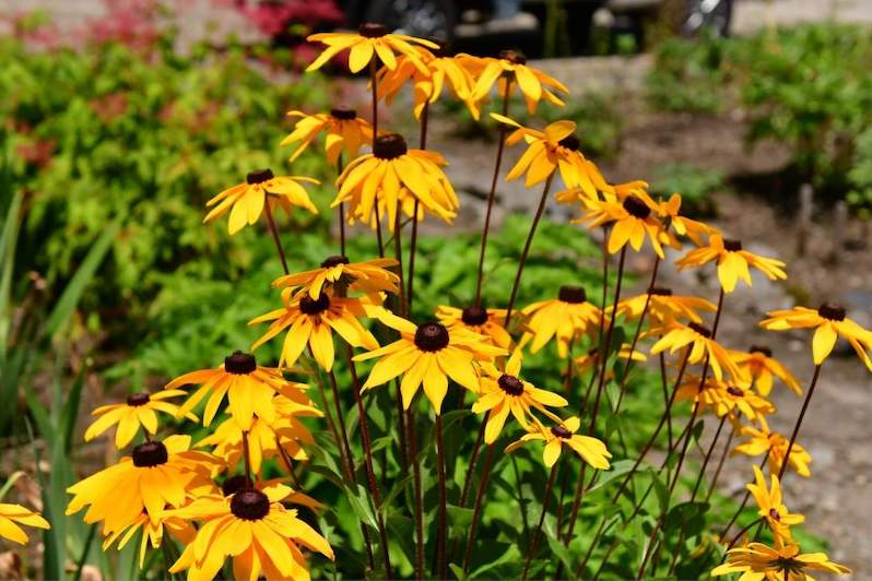 Golden yellow flowers that contain a black center sit atop tall erect stems shooting up from the clump of foliage below. The background contains different plants  of varying greens, one has red/magenta flowers amongst its foliage.