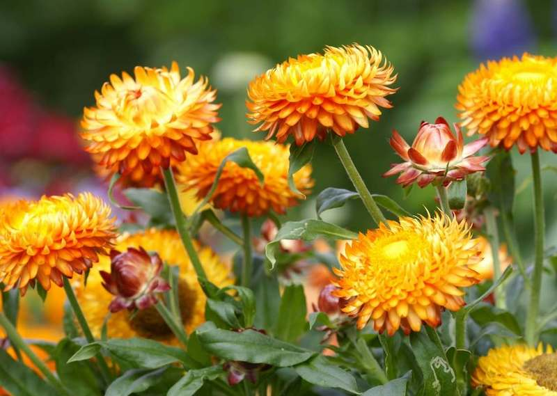 Bright vibrant golden red blooms sit atop green stalks amongst luscious green foliage.
