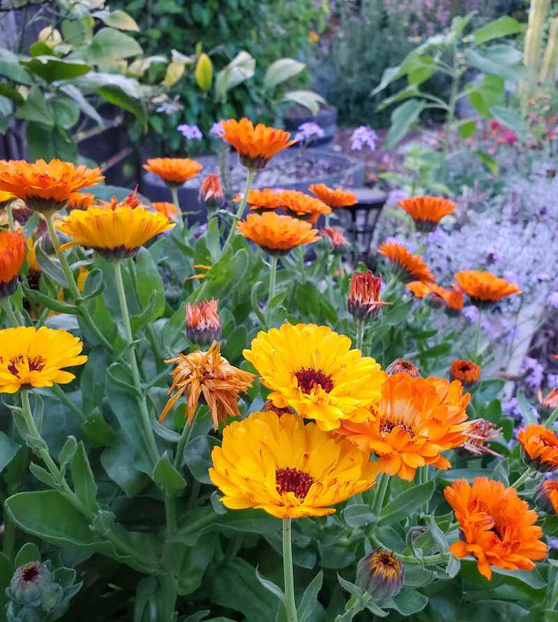 Tall yellow and orange calendula flowers sit atop green foliage spikes. The flowers that have yet to bloom are comprised of small green bulbs and some of the flowers have shed their petals, ready to make seed for reproduction. Concession planting calendula will make for great fall flowers in most climates.