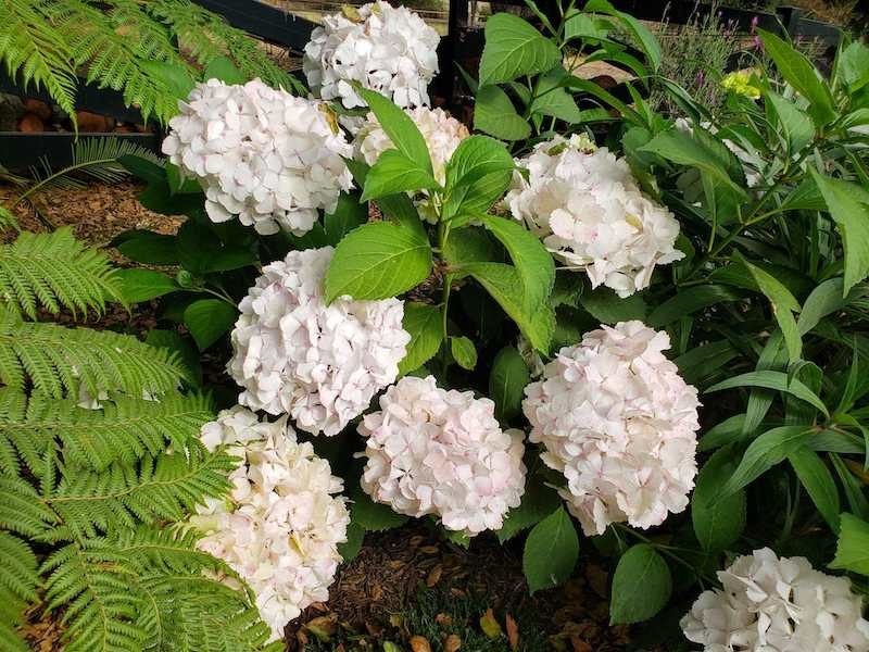 Large white hydrangea blooms sit amongst a green jungle of hydrangea foliage and large dark green ferns. Hydrangeas will bloom until it freezes which makes them great for fall flowers.