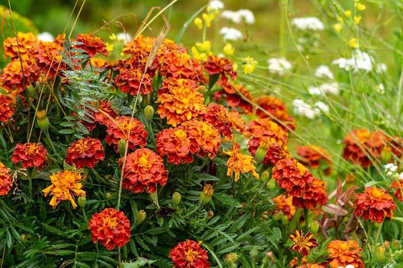A large cluster of copper red marigold blooms sit atop dark green foliage. Wispy flowering grasses flank the entire plant with indiscernible yellow and white flowers in the background.