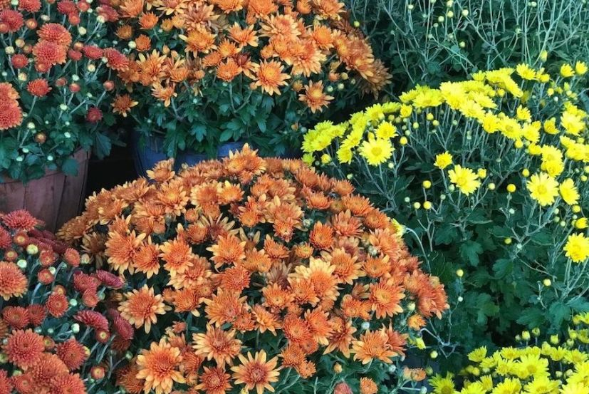 A number of potted mums with bountiful blooms of orange, red, and yellow atop green foliage illustrates how these are a great fall flower.