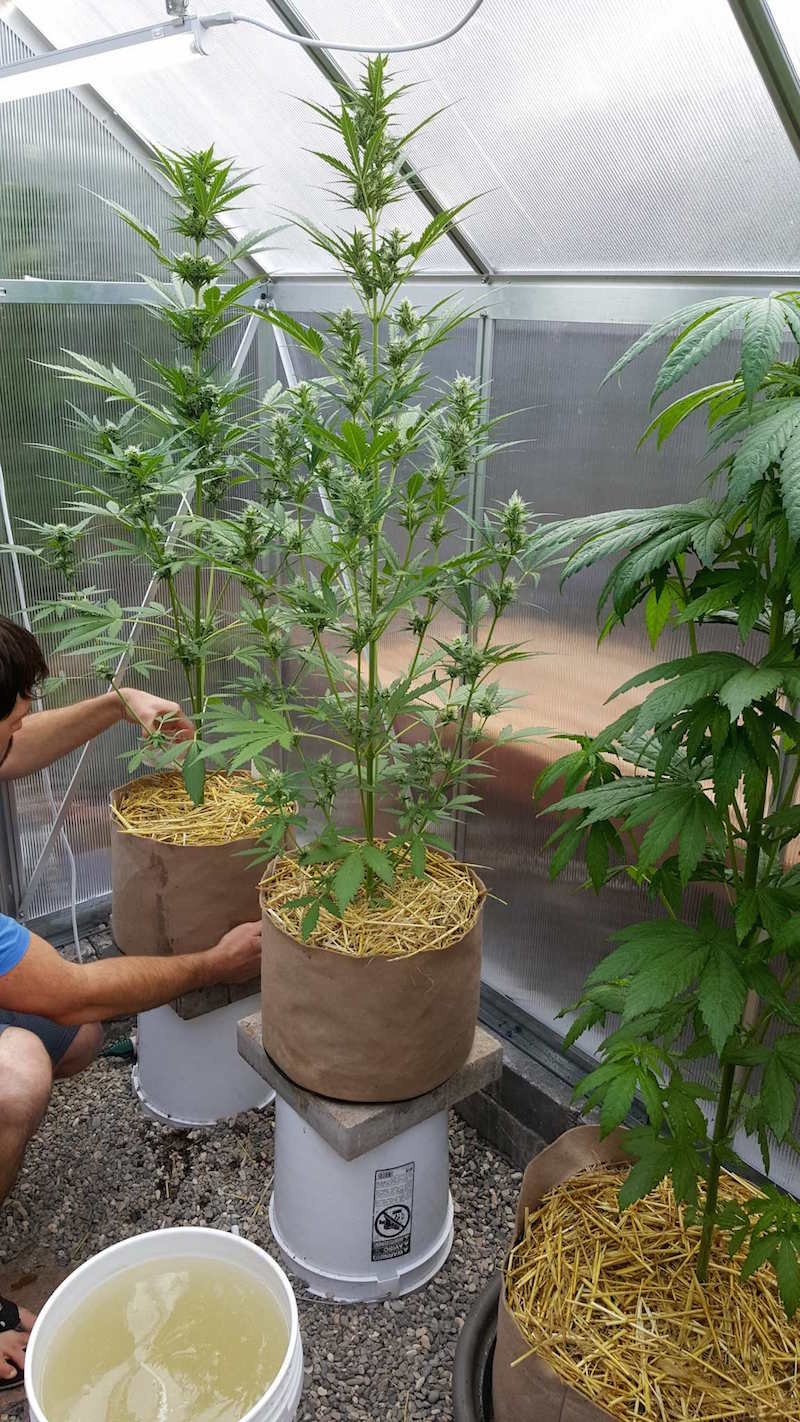 A man watering two tall skinny autoflower cannabis plants. It is in a small hobby greenhouse. The plants are in 10 gallon tan fabric grow bags. He is pouring a yellowish tea (sprouted corn tea) from a 5-gallon bucket nearby into each grow bag using a glass measuring cup.