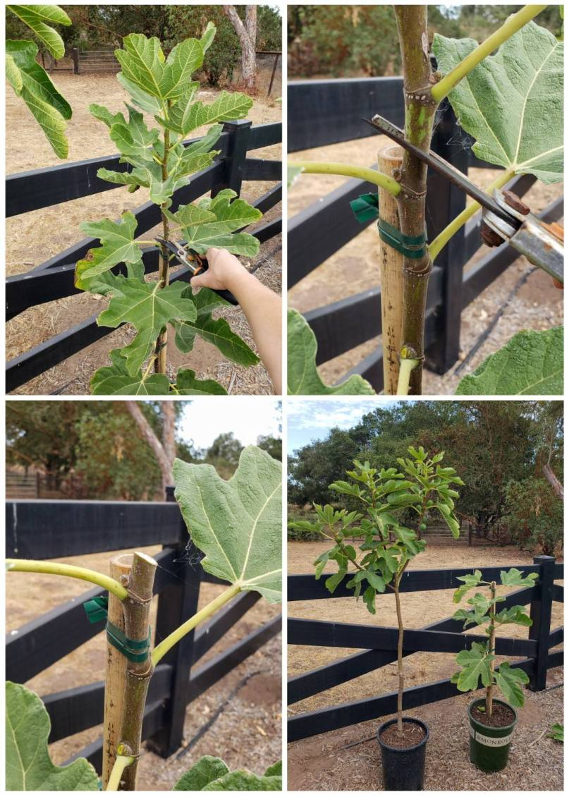 """A four way image collage, the first image shows the top of a young fig tree whip with pruners positioned above a node, the second image shows a close up of the pruners placed just above one of the nodes, the third image shows the top after it has been pruned, and the fourth image shows the newly pruned young whip next to another young tree in the same sized pot that illustrates a """"Y"""" shape growth pattern. Grow fig trees in various shapes to suite your needs."""