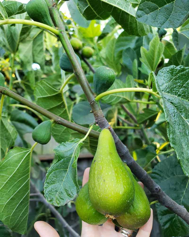 DeannaCat's hand is a set of three figs that are hanging from a branch. They are starting to droop which occurs when they ripen. Grow fig trees if you want delicious fruit.
