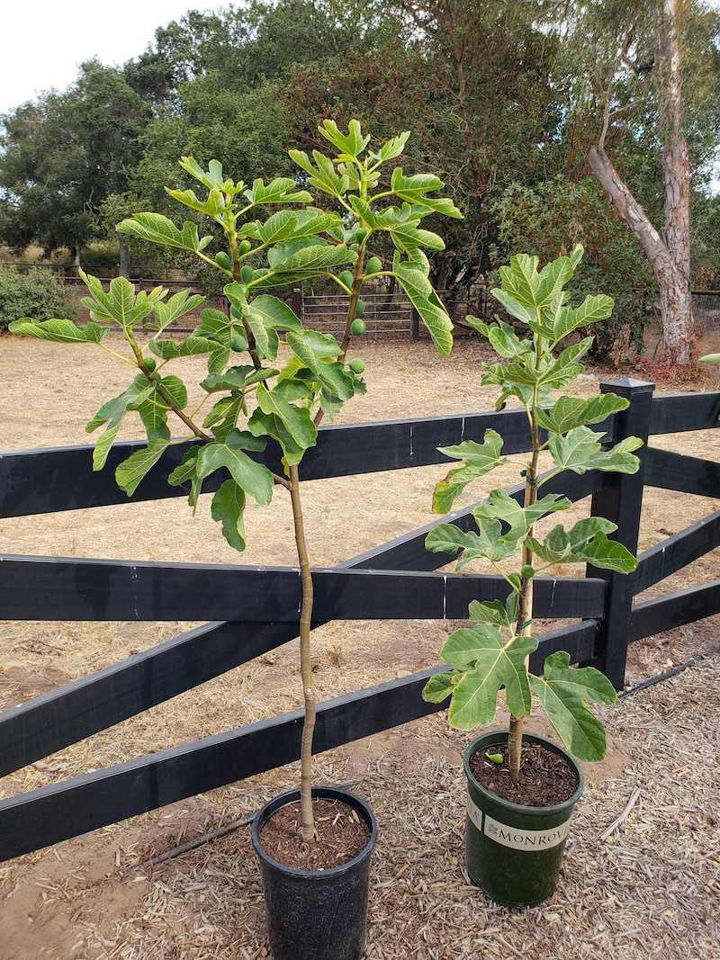 """Two young fig trees standing side by side in 5 gallon nursery pots. The one on the left is slightly taller and has been pruned into a """"Y"""" or vase shape, the one on the right is in the shape of a whip. Grow fig trees in various ways to suite your needs."""
