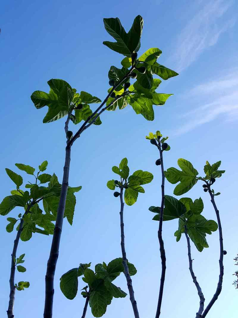 An image taken towards the sky underneath the canopy of a Desert King fig tree. The main branches are free of leaves aside from the ends where the new growth has taken place.