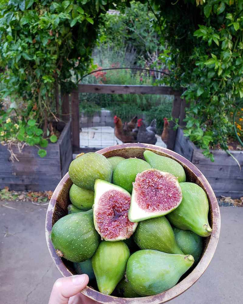 A wood bowl is being held sideways to show the many large ripe green figs that are being held within. One of the figs has been sliced in half to reveal the juicy, purple flesh within. Four chickens are in the background, looking in from a gate.