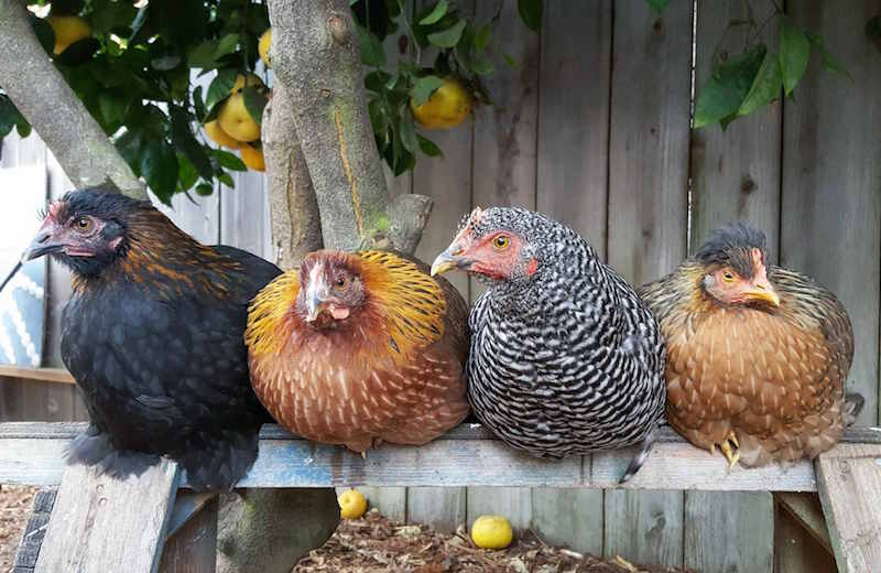 Four young pullet Hens are roosting on a wooden saw horse perch. Each one is different in color, one is black and copper, one is bright orange to tan, another is black and white, and the last one is light brown with some black. There combs and battles are nearly non existent at their young age.