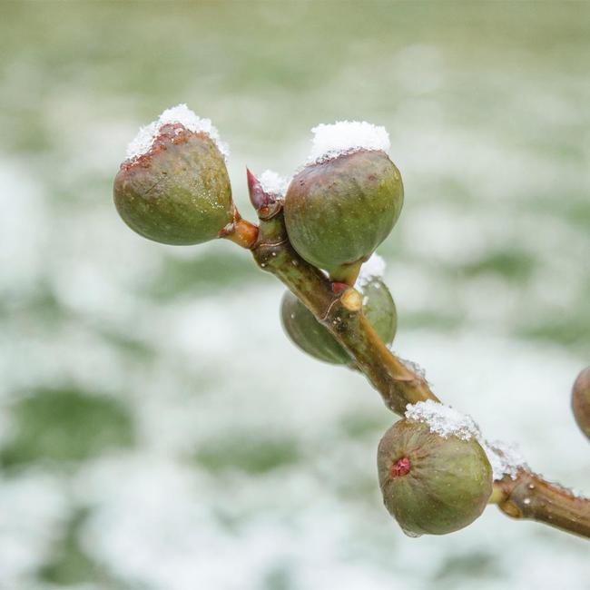 A fig tree branch has four figs growing on it, each fruit has a pile of icy snow sitting atop it. Choose fig varieties that are most cold hardy for those in zones 5 and 6.