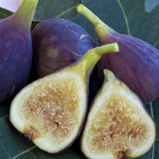 Fresh harvest figs that are light purple in color with rose honey flesh are clustered together on top of a fig leaf. Choose fig varieties that are optimal for your growing zone for a better harvest.
